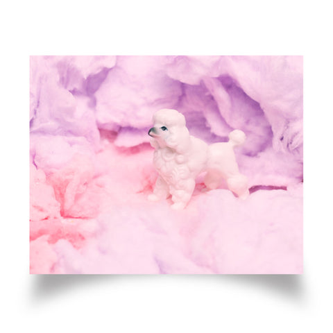 Cotton Candy Poodle