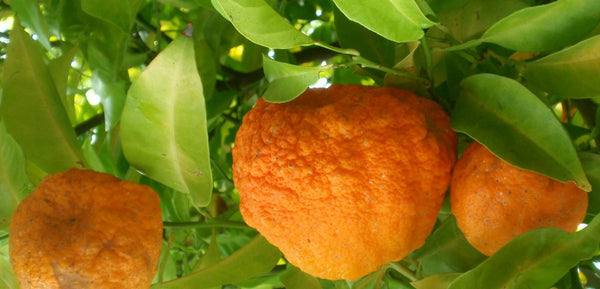 bergamot-orange-plant-essential-oil|bergamot-orange-plant-essential-oil|bergamot-oranges|Bergamot-essential-oil|Health-Benefits-Of-Bergamot