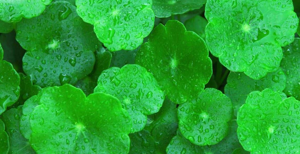 Gotu Kola: What It Is & How it Helps Your Skin