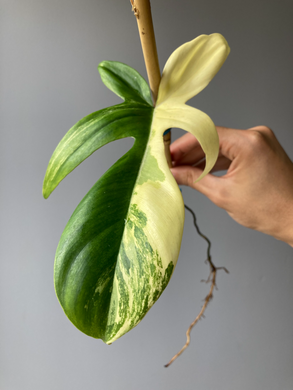 Philodendron Florida Beauty - Stem Cutting