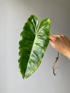 Philodendron Paraiso Verde - Stem Cutting B