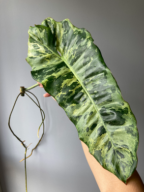 Philodendron Paraiso Verde - Stem Cutting A