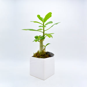 Mini Money Tree Plant
