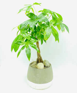 Money Tree (24in tall)