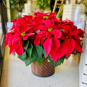 10-inch Red Poinsettia