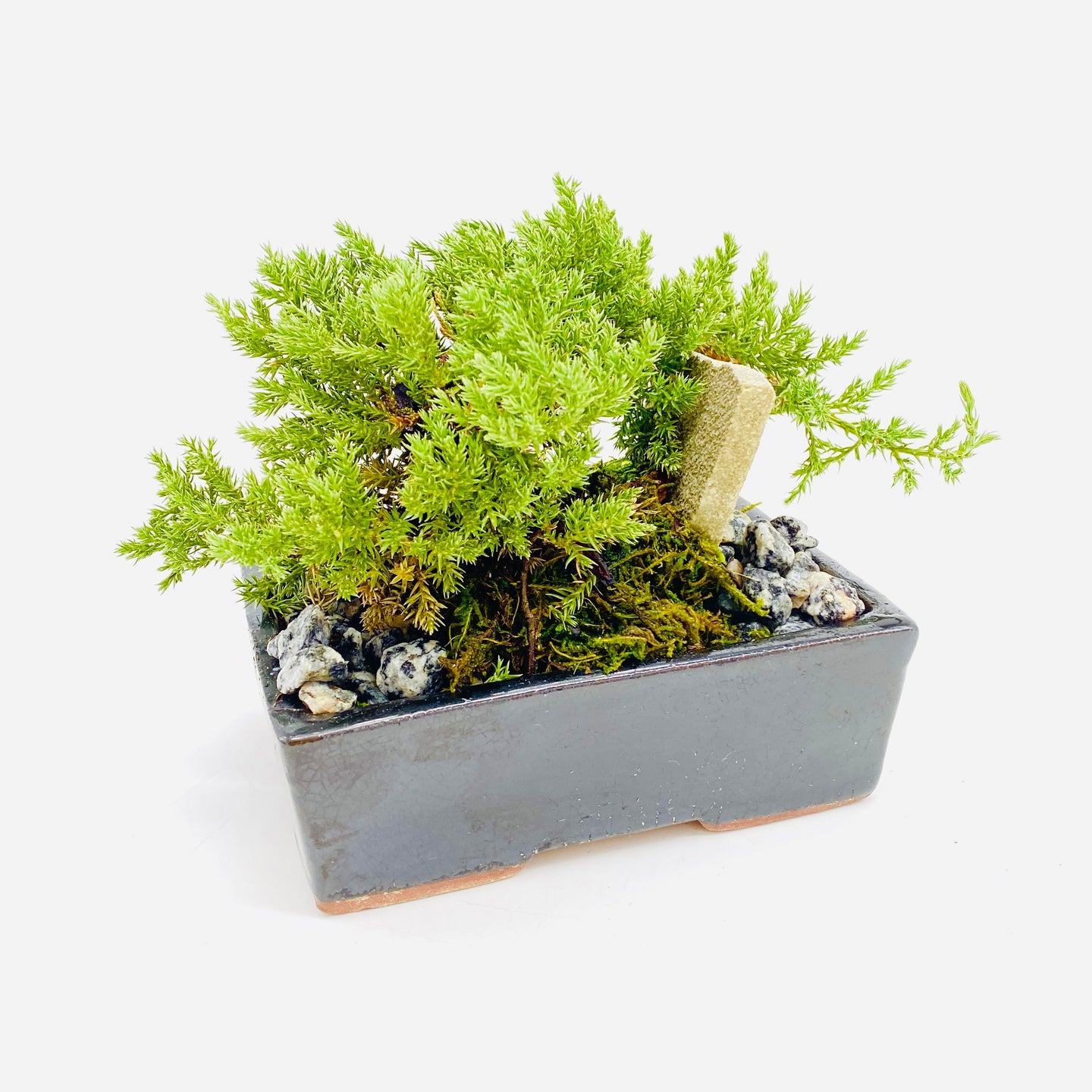 Mini Bonsai Plant