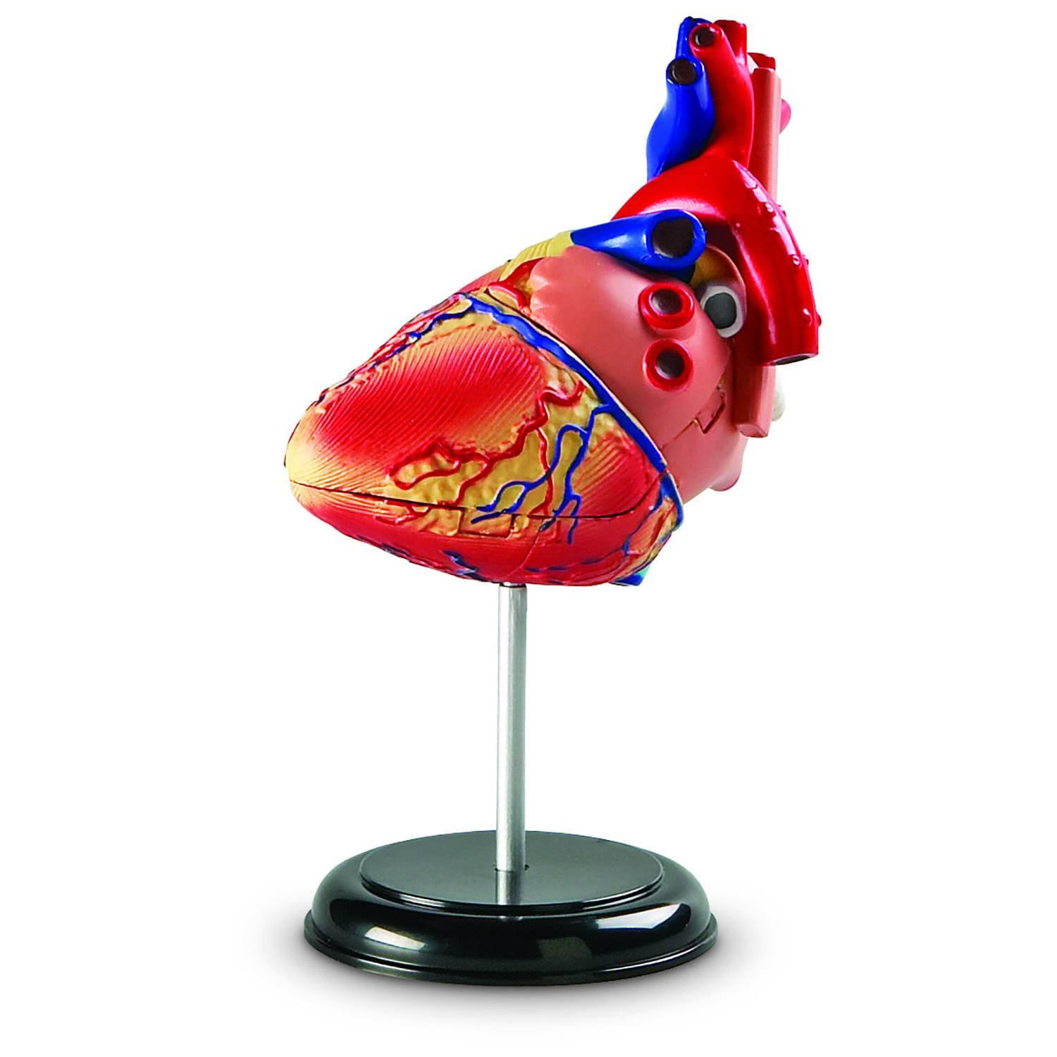 Heart Anatomy Model Kit 3