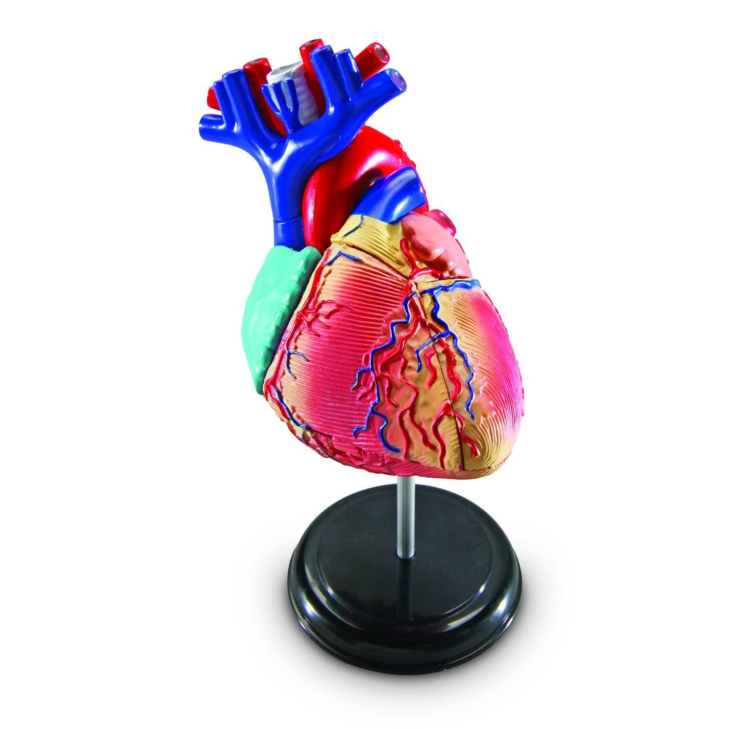 Heart Anatomy Model Kit 4