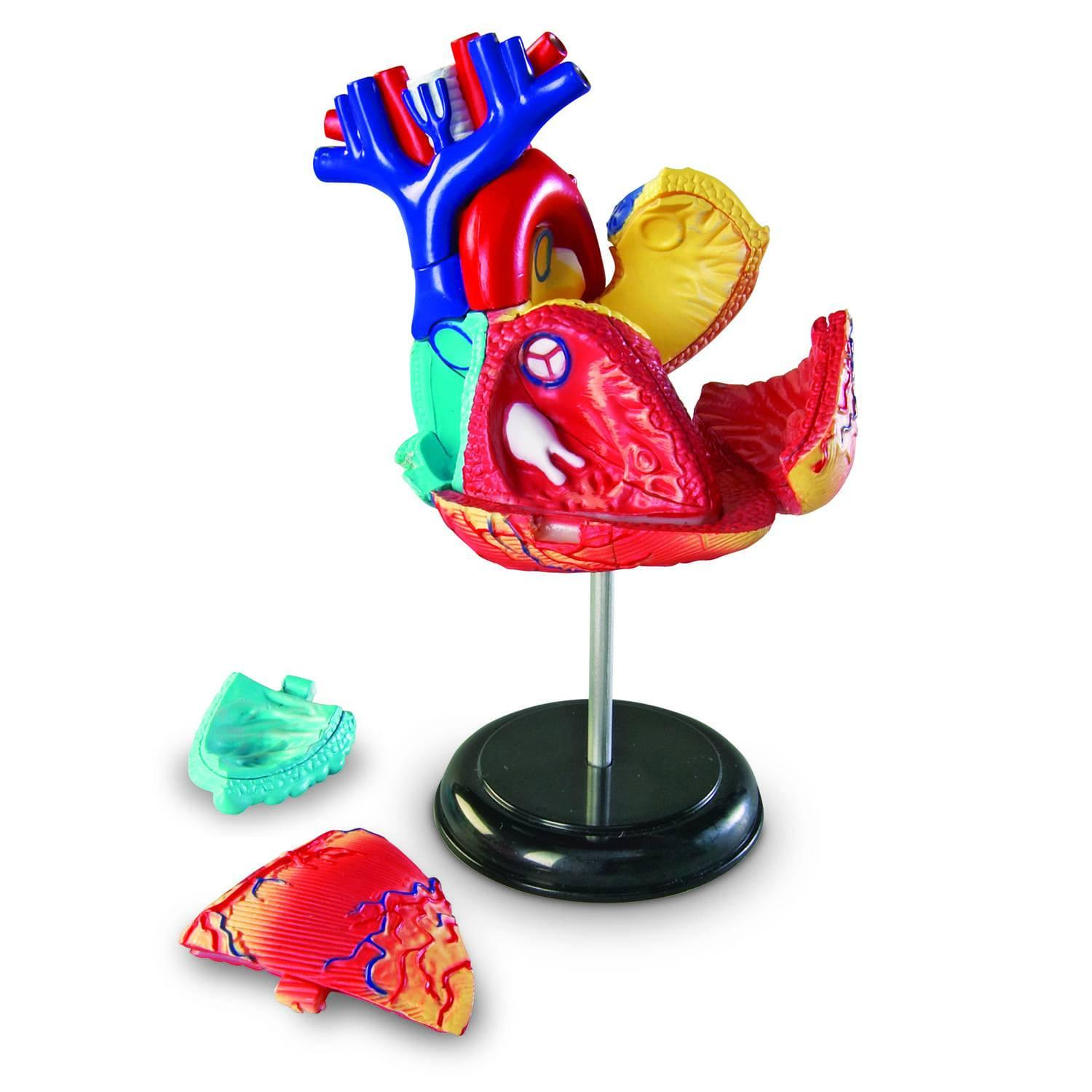 Heart Anatomy Model Kit 2