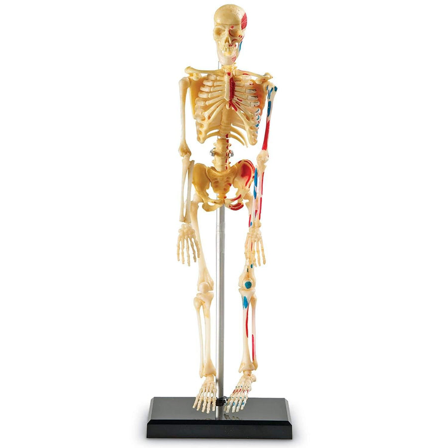 Kids Skeleton Anatomy Model Kit 1