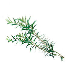 Tea Tree - Melaleuca alternifolia