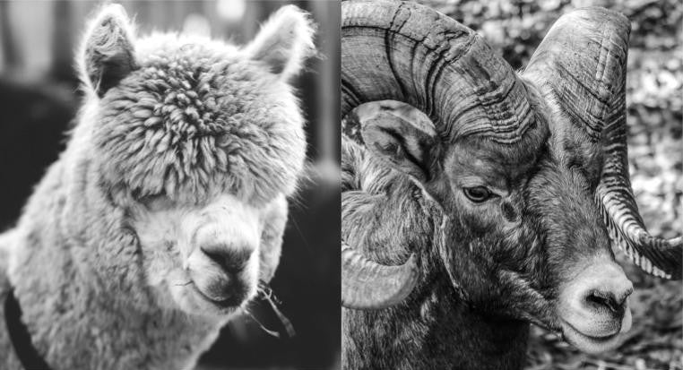 ALPACA Vs MERINO: WHICH HAS BETTER WICKING, INSULATION, COOLING