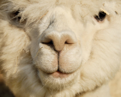 close up of alpaca face