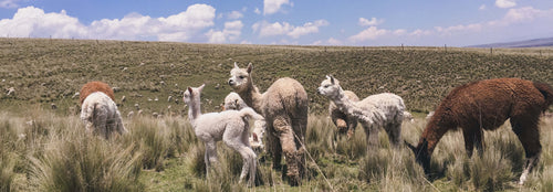 A group of young alpaca grazing with the rest of the flock in the background