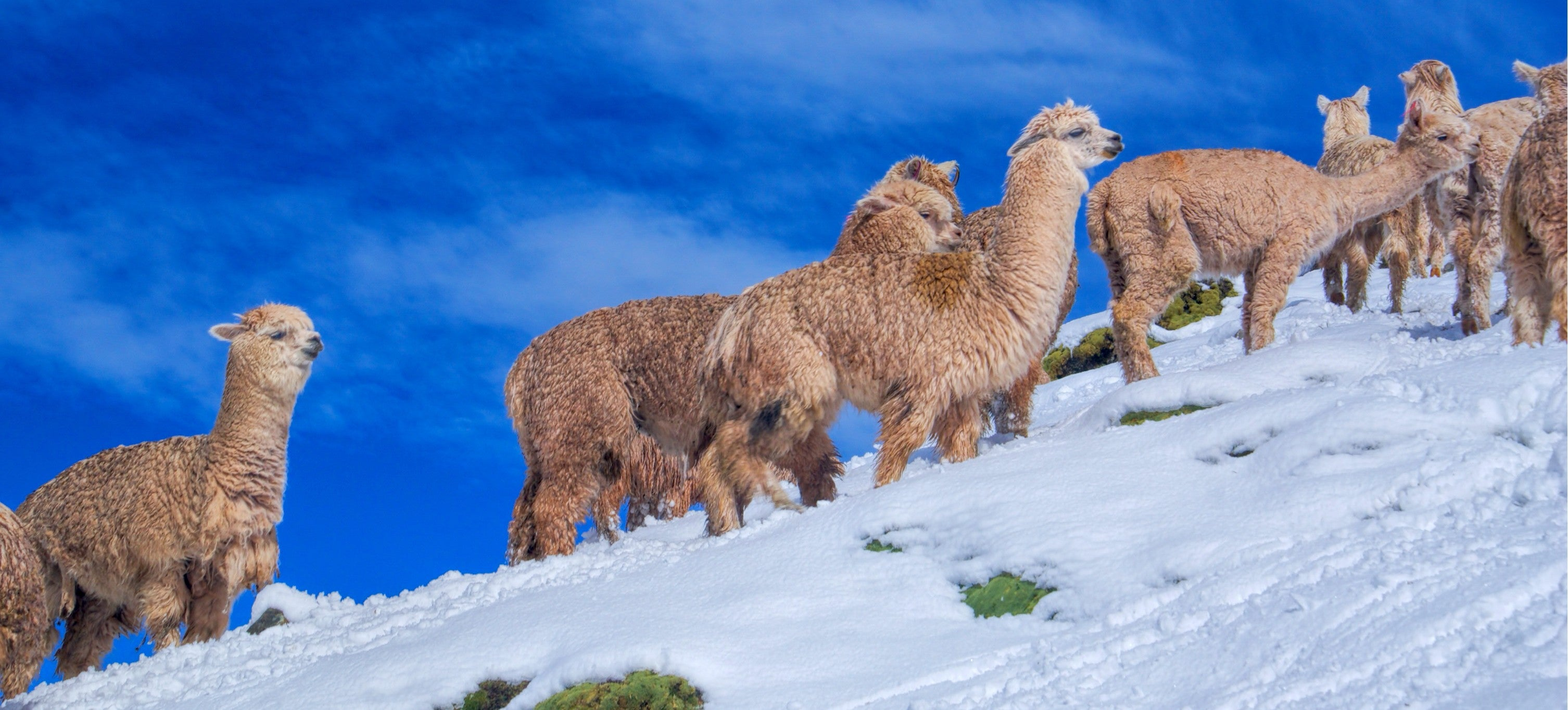 alpacas hiking the snow under a blue sky