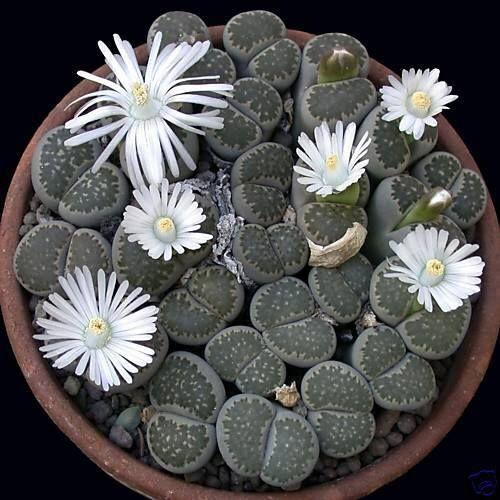 Lithops Succulent Seed