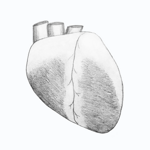 Whole Sheep Heart Drawing