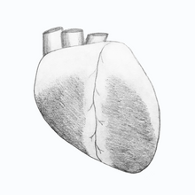 Load image into Gallery viewer, Whole Sheep Heart Drawing