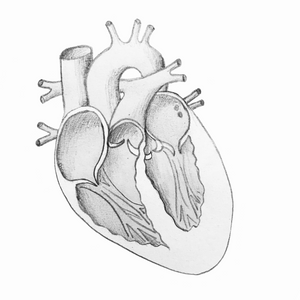 Sheep Heart Dissection Drawing