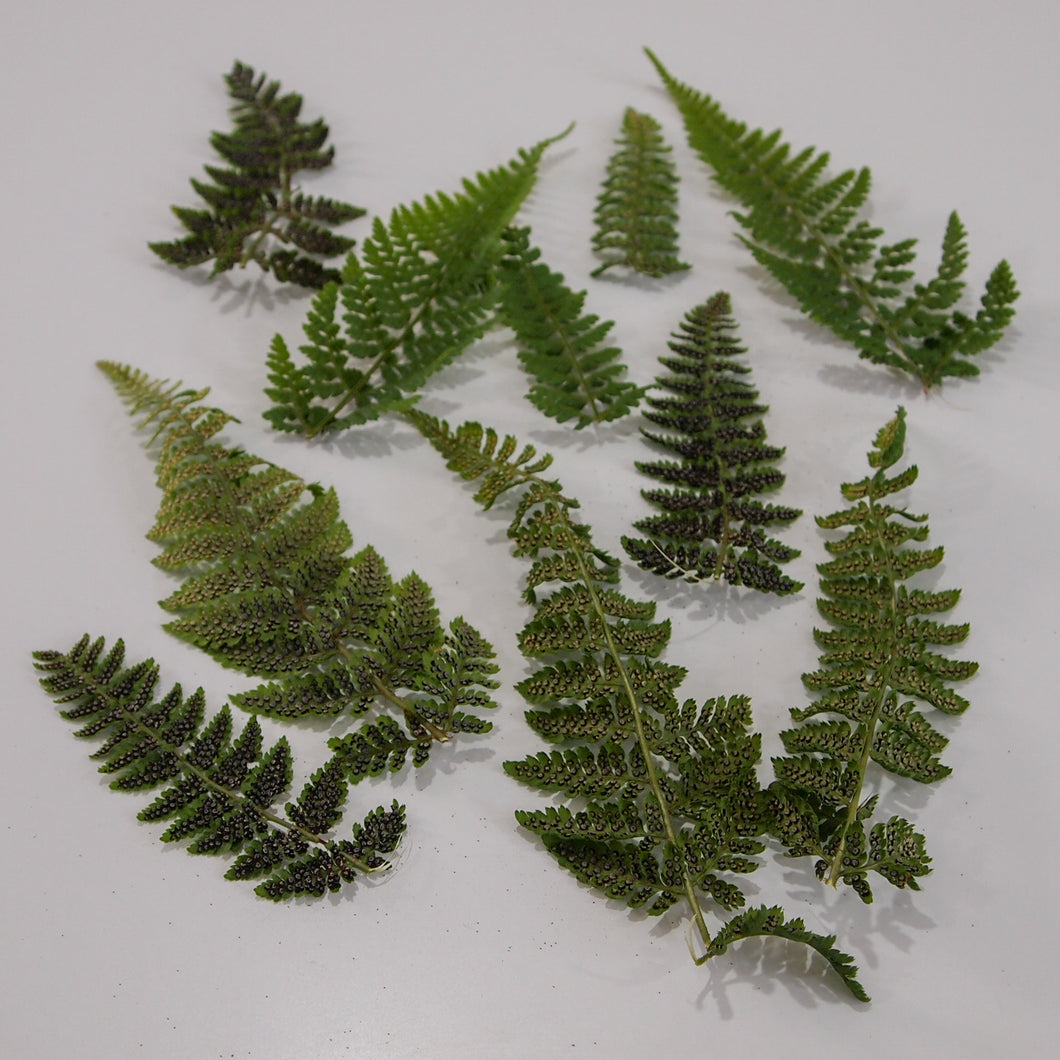 Dryopteris Fern Fronds