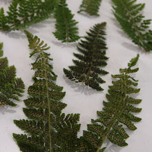 Load image into Gallery viewer, Dryopteris Fern Fronds Underside