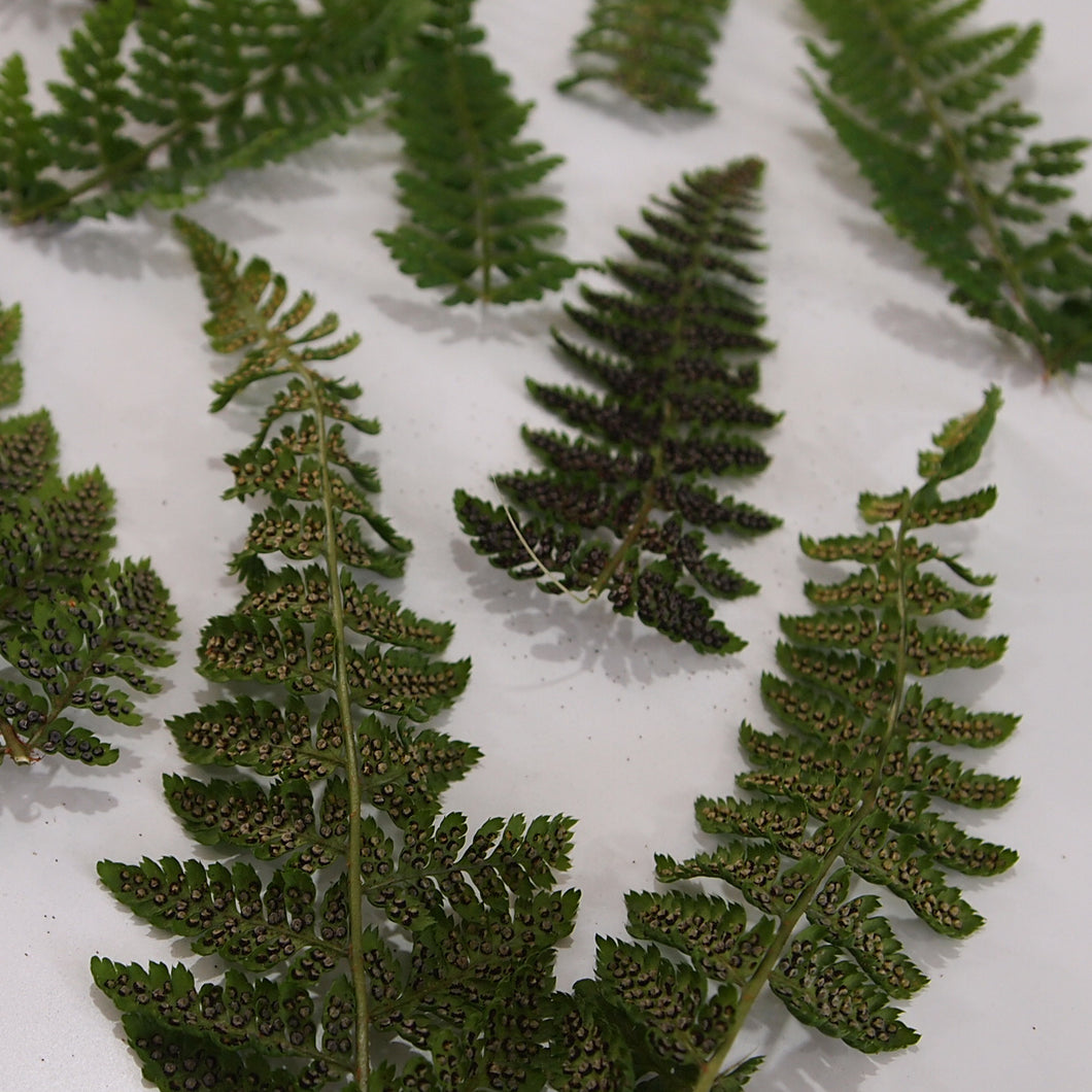 Preserved Dryopteris Fern Frond