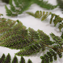 Load image into Gallery viewer, Dryopteris Fern Fronds Close Up of Sori