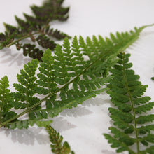 Load image into Gallery viewer, Dryopteris Fern Fronds Top