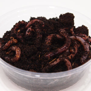 Dendrobena Composter Worms in tub