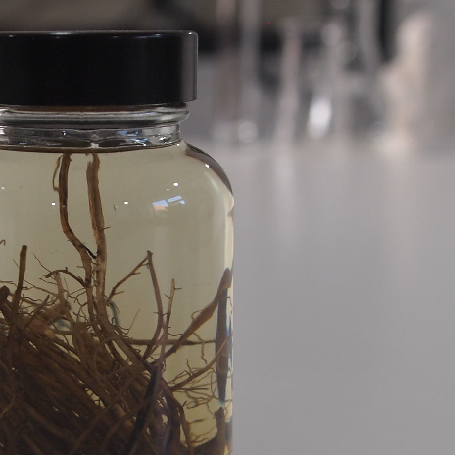 Preserved Buttercup Ranunculus Roots