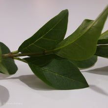 Load image into Gallery viewer, Privet Ligustrum Leaves Close Up