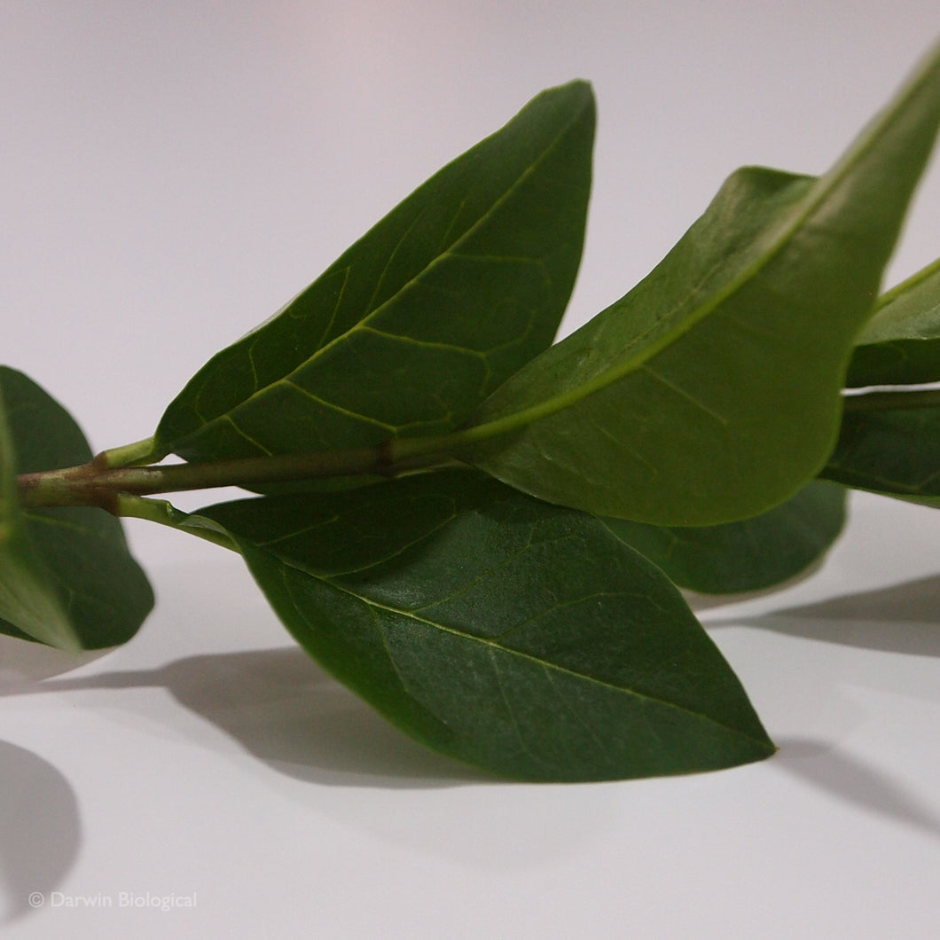 Privet Ligustrum Leaves Close Up