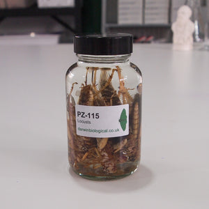Preserved Locusts in Jar 10 pack