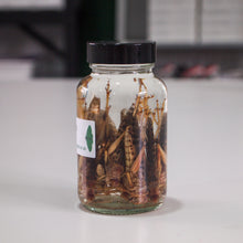 Load image into Gallery viewer, Preserved Locusts in Jar 10 pack