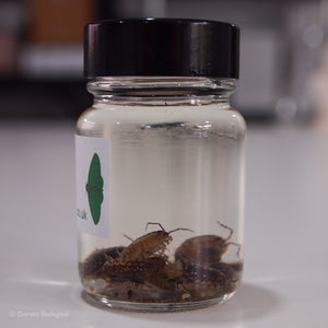 Preserved Woodlice