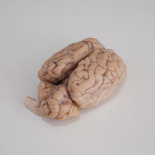 Load image into Gallery viewer, Preserved Sheep Brain