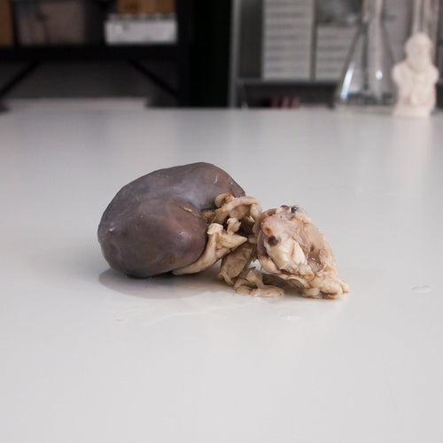 Preserved Sheep Kidney