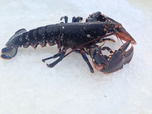 ${product_type Live Lobster ( 500g/ 700g /1 kg ) The Berwick Shellfish Co.
