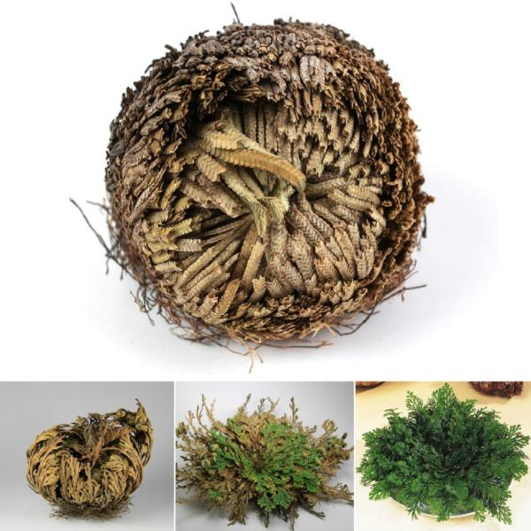 "*""Rose Of Jericho"" - The Resurrection Plant - 5 Plants"