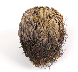 "$3 OFF SPECIAL - ""Rose Of Jericho"" - The Resurrection Plant"