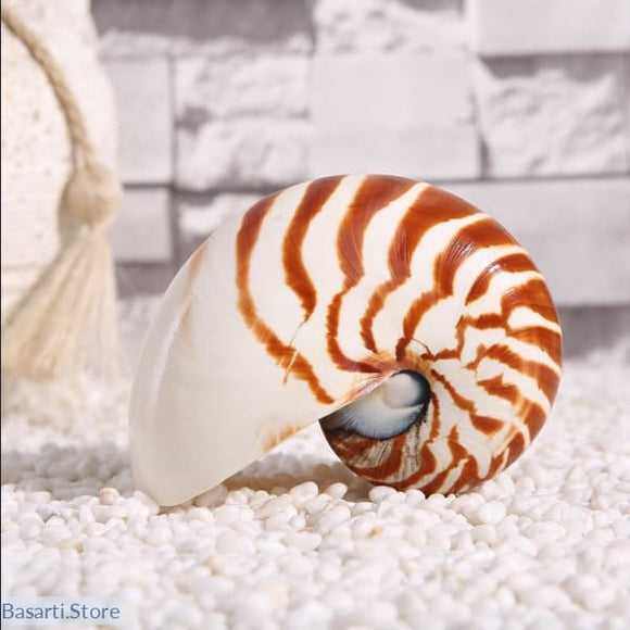 Natural Chamber Tiger Striped Nautilus Conch Shells Collectible 13-15cm - Decor Shell