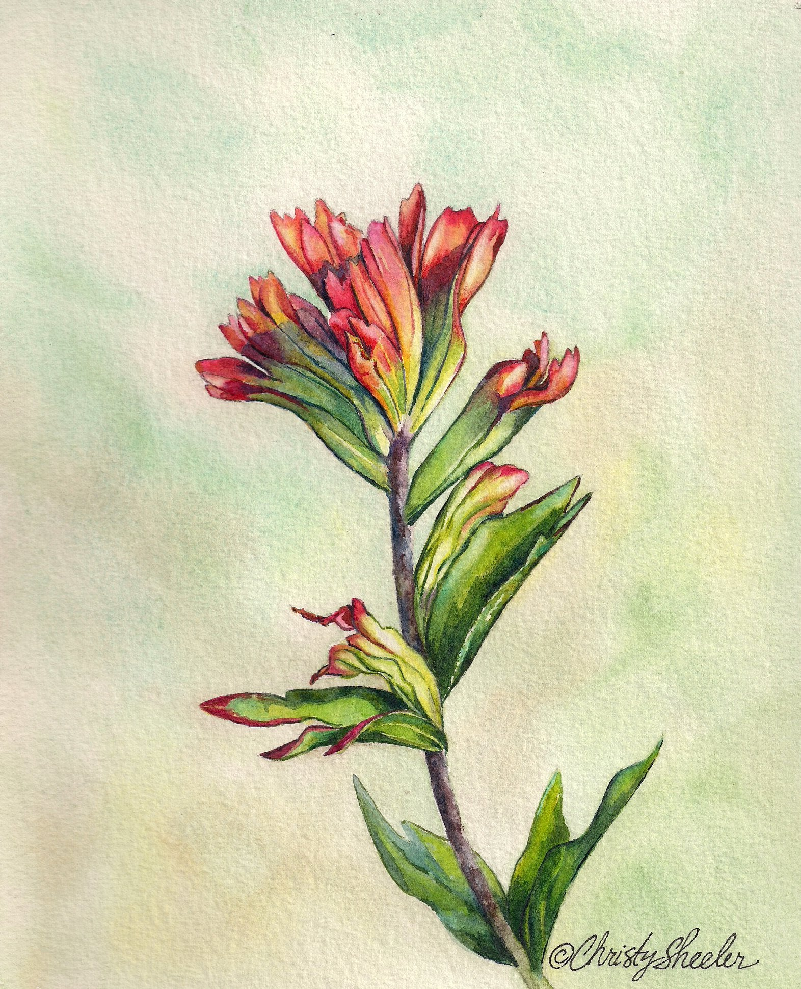 Indian Paintbrush Delight