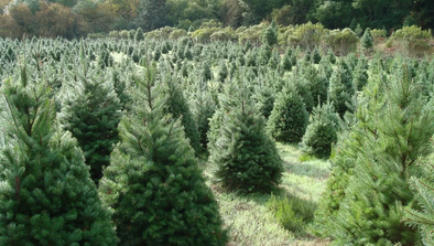 The Top 5 Reasons to Buy a Real Christmas Tree