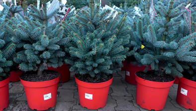Outdoor Potted Christmas Trees
