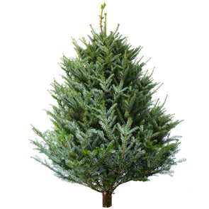 Korean Fir Fresh Cut Christmas Trees