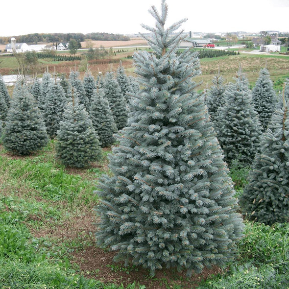 Blue Spruce Pot Grown Christmas Trees - Christmas Trees Direct