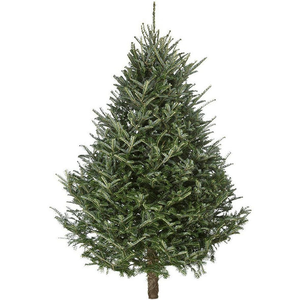Fraser Fir Fresh Cut Christmas Trees - Christmas Trees Direct