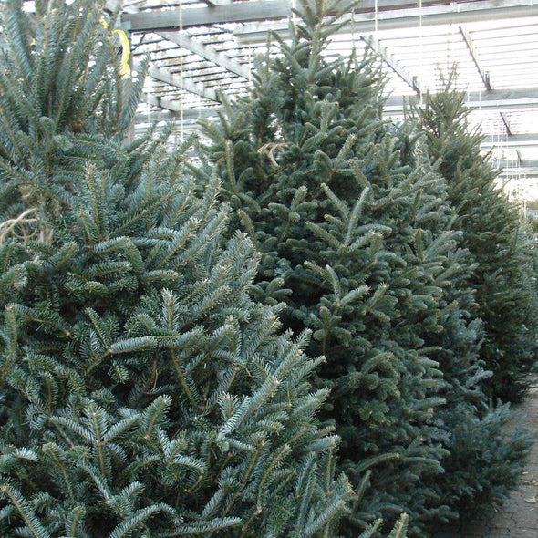 Fraser Fir Pot Grown Christmas Trees - Christmas Trees Direct