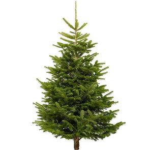 Nordmann Fir Fresh Cut Christmas Trees - Christmas Trees Direct