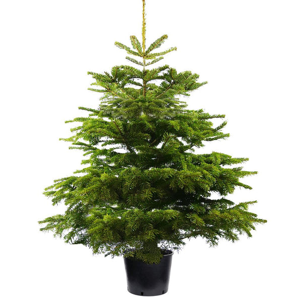 Nordmann Fir Pot Grown Christmas Trees - Christmas Trees Direct